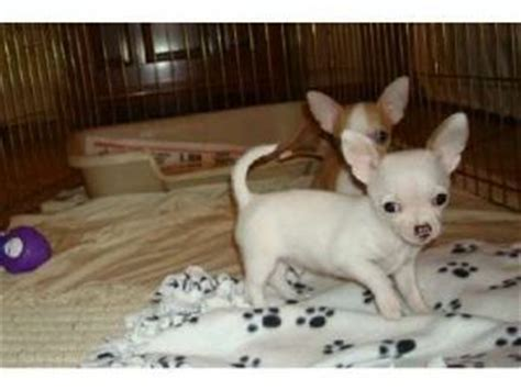 chihuahua puppies for sale in pa chihuahua puppies in pennsylvania