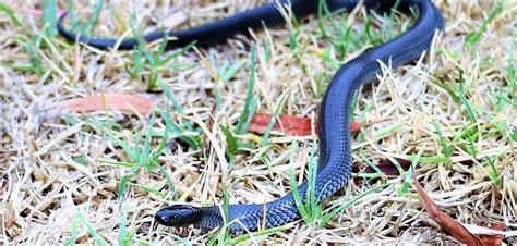 eltham snakes snake catcher eltham
