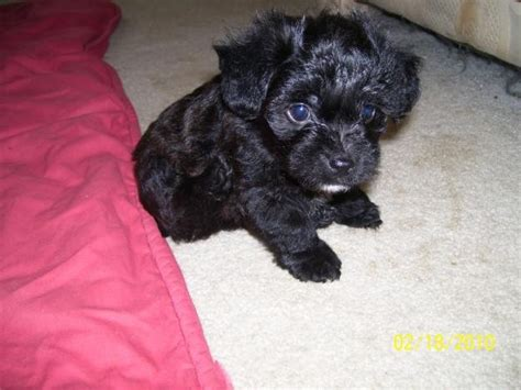 where can i buy a yorkie poo puppy 25 best ideas about yorkie poo puppies on