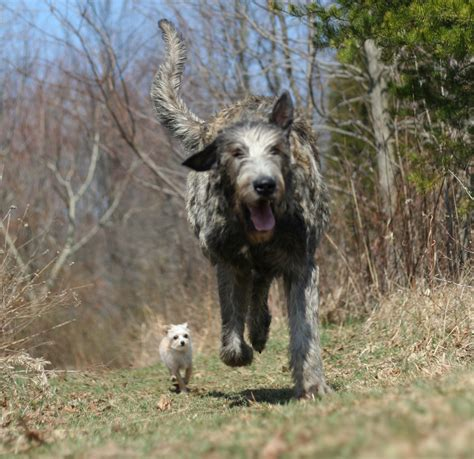 wolfhound puppy running wolfhound photo and wallpaper beautiful running wolfhound