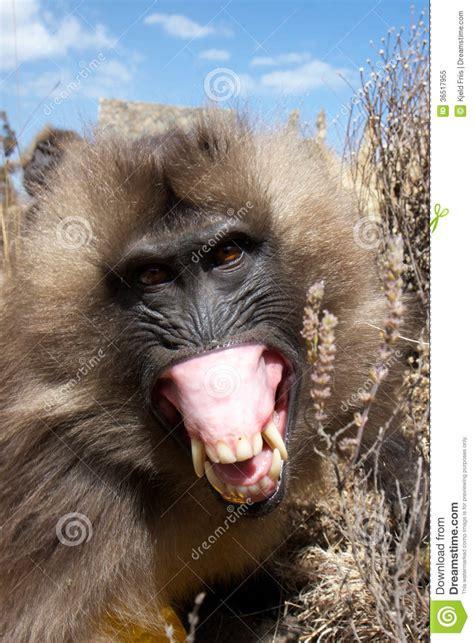 angry gelada baboon stock image image  mountain hair