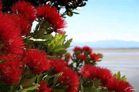 images of christmas nz sweet as another kiwi christmas