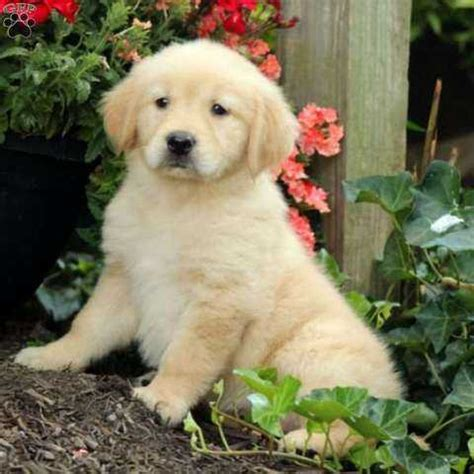 golden retriever puppies for sale in wales golden retriever golden retriever puppies for sale