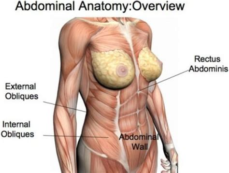 gallery  female abdominal muscle anatomy muscles