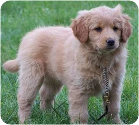 golden retriever rescue ns adopted puppy milford nj scotia duck tolling retriever golden
