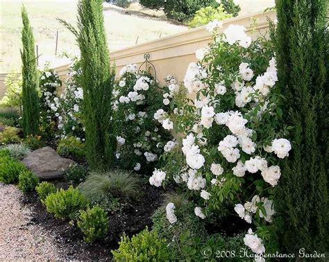 Paving Ideas For Backyards Plantfiles Pictures Climbing Floribunda Rose Iceberg Cl