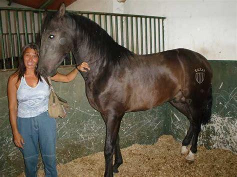 fotos caballos verga parada una asociaci 243 n para la defensa de los animales asegura que