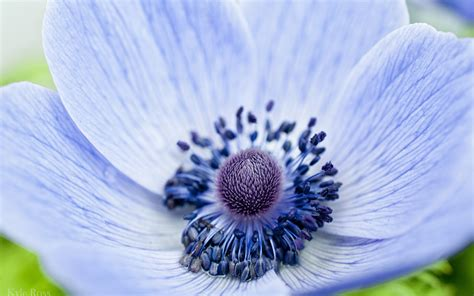 17468 Blue Flowers 2 Warna blue anemone flower www pixshark images galleries with a bite