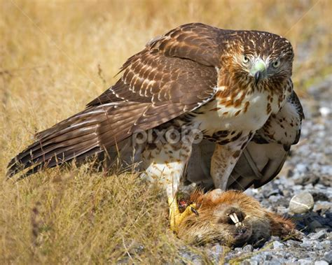 red tailed hawk quotes quotesgram