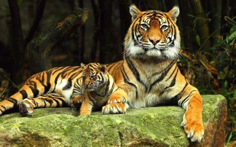 imagenes 4k tigre 34 wallpapers de tigres en 4k lanaturaleza es