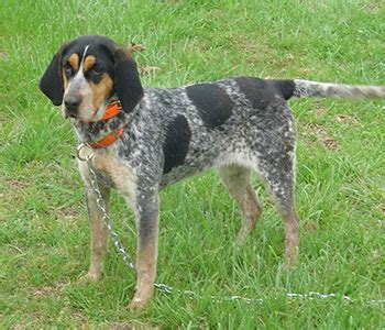 Coonhound Shedding by Coonhound Breed Pictures And Photos Breeds Picture
