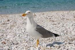 uccello simile al gabbiano approfondimenti e curiosit 224 sull isola d elba