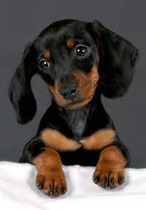Dachshund Puppies Henry The Dachshund Puppies Daily Puppy