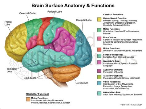 diagram of human brain brain functions lateral view biomed illustrations llc