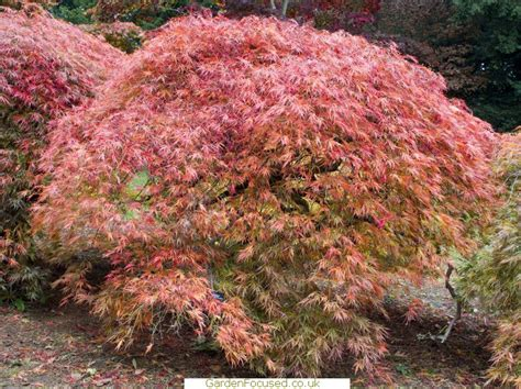 growing and caring for japanese maples in the uk