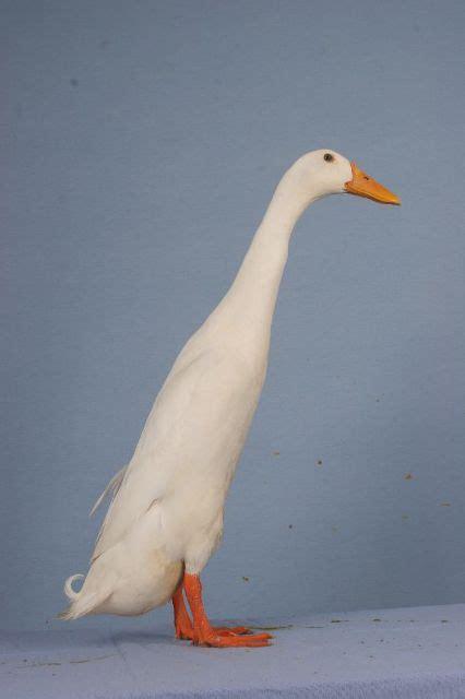 duck breeds fancy duck breeds poultry hub