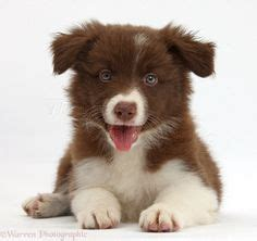 brown border collie puppies my a white border collie border collies white border