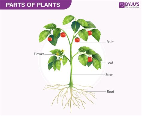 Biology Of Plants Parts Of Plants Diagram And Functions