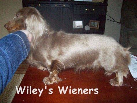 dachshund puppies for sale in wv wiley s wieners dachshund breeder in romney west virginia