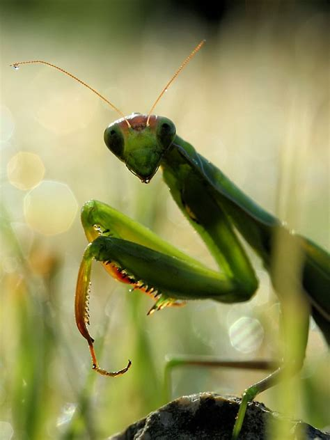 praying mantis for garden pest pray mantis is one of the best defenses for a pest free