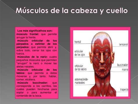 de la cabeza a 0060513020 diapositivas sistema muscular