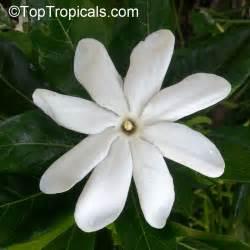 Gardenia Tiare Gardenia Taitensis Tiare Tahiti Tahiti Gardenia Of