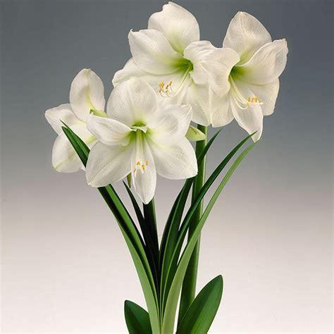 grow amaryllis bulbs  easy indoor houseplants