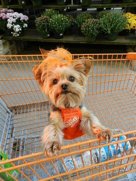 dogs in home depot home depot yorkie yorkies