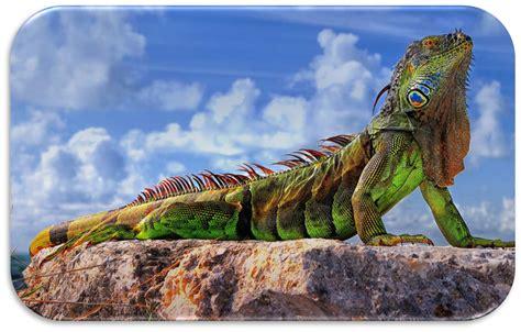 imagenes de iguanas rojas exotic tour company iguana tours puerto rico safari