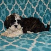shih tzu puppies for sale in philadelphia shih tzu puppies for sale in pa ridgewood puppies