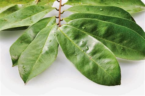 Teh Manggis soursop leaves for treating uric acid and cancer health benefits of plants