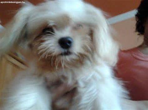 havanese mini elad 243 bichon havanese mini szuka k 246 ly 246 k kutya elad 243 egy 233 b debrecen