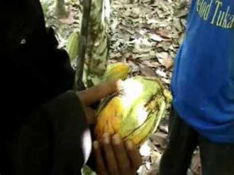 Pupuk Organik Grow More pupuk organik d i grow memulihkan kakao yg terserang pbk