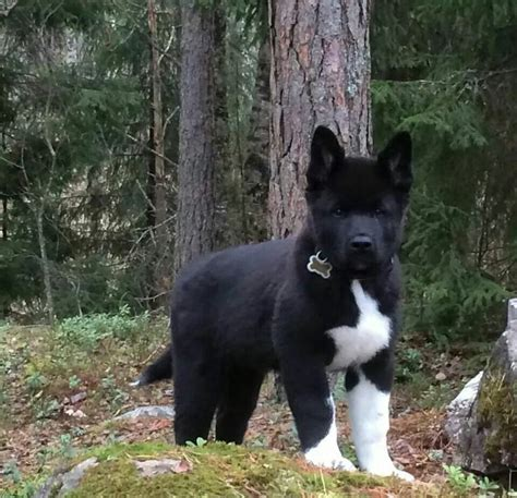 black akita puppy 17 best images about akita breed on puppys bar and search
