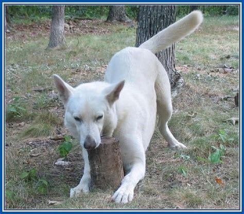 dogs 101 german shepherd german shepherds 101 breeds picture