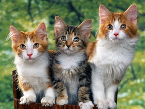 three cute kittens cute cool pets 4u cute cats and dogs pictures