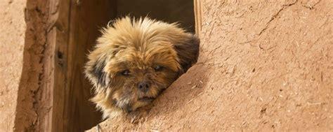 perros para vivir en un piso es un perro de peque 241 o tama 241 o perfecto para vivir en un piso