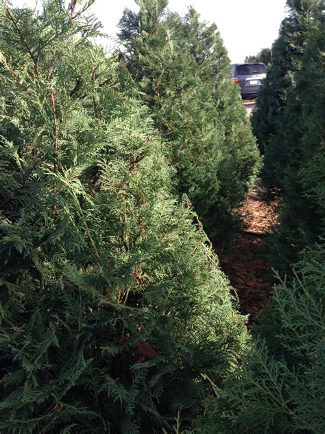 peltzer pines choose cut christmas tree farms 13