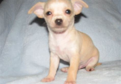 free puppies in reno dogs reno nv free classified ads