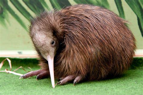 imagenes de animal kiwi negocio de animales extra 241 os