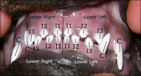 when do puppies get their teeth rottweiler teeth dentition diagrams fantastikrot rottweilers perth western australia