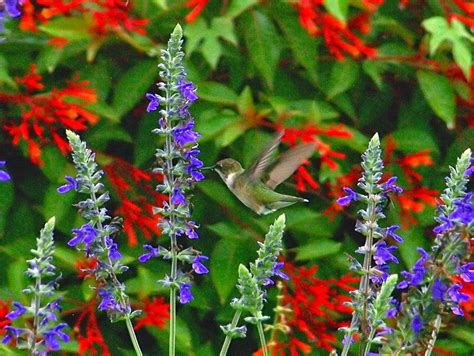 Developing Designs Blog By Laura Jens Sisino Tuesday Tip Hummingbird Garden Flowers