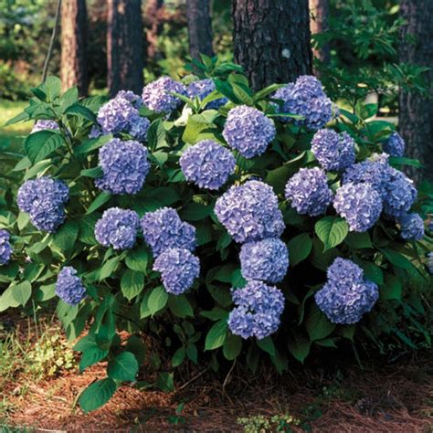 all summer beauty hydrangea shrub plant types for zone 6a to 6b p