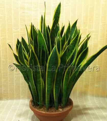 piante particolari da appartamento sansevieria trifasciata consegna fiori