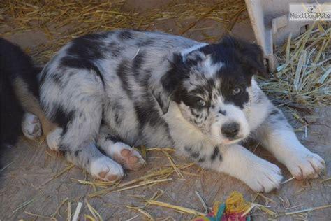 dogs for sale albuquerque australian shepherd puppy for sale near albuquerque new