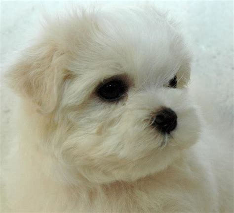 chion havanese puppies dogs maltese