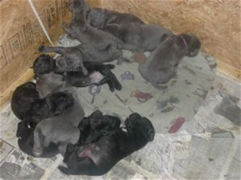 neapolitan mastiff puppies for sale in pa neapolitan mastiff puppies for sale