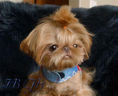 imperial shih tzu puppies arizona best 25 imperial ideas on