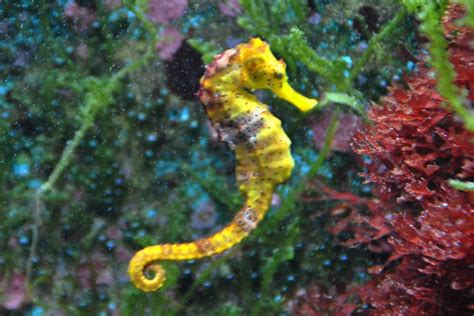 colorful seahorse colorful real seahorses search inspiration