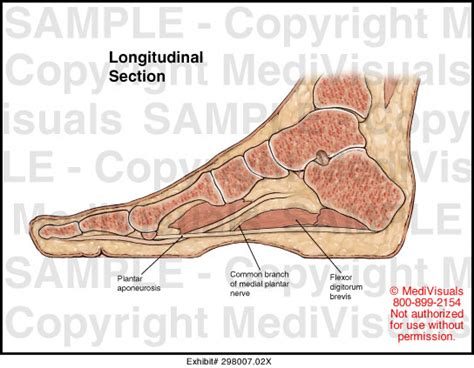 longitudinal section anatomy longitudinal section medical illustration